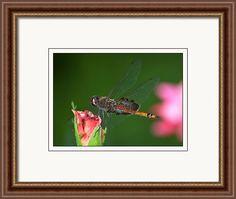 rd Erickson Framed Print featuring the photograph Carolina Saddlebags Dragonfly - Tramea Carolina by rd Erickson