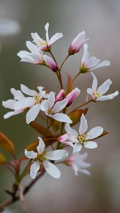 Amelanchier Robin Hill a pink and white flowering ornamental tree for sale online with UK delivery