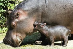 Mom Nom #hippos #motherhood