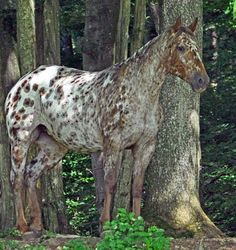 I can't name this Appaloosa coat