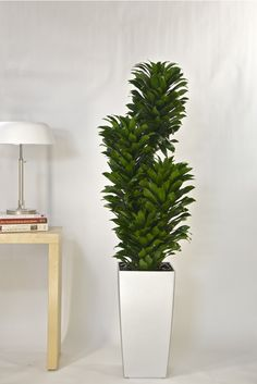 Types of Houseplant Bugs and Methods to Check Their Infestation Dracaena Janet Craig Compacta from Houston Interior Plants Tall Indoor Plants, Indoor Trees, Indoor Plant Pots, Outdoor Plants, Potted Plants, House Plants Decor, Plant Decor, Office Plants, Interior Plants