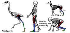 Deer Leg Anatomy Image collections - Human Anatomy Learning