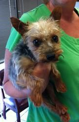 Austin is an adoptable Yorkshire Terrier Yorkie Dog in Plano, TX. Apply at tzuzoorescue.com for this darling fluff that just arrived. More information available by contacting tzuzooinfo@gmail.com. [NO...Please click on pic for additional info on this fur baby❤❤❤❤❤❤❤❤