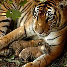 THERE are only 1,411 tigers left in the wild in India......help save these poor creatures.......Beautiful pin of a mother and her babies!!!!!