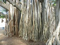 Wakiki, Hawaii, i love these trees !