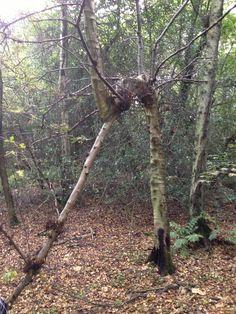 Betula in Westerham woods