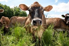 Grass-Fed Milk Is Taking Off With Health-Conscious Shoppers - WSJ