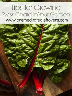 Tips for Growing Swiss Chard in Your Garden - Vegetable gardening tips including how to grow Swiss Chard from seed, how to transplant Swiss chard sprouts & when to harvest Swiss chard plants.