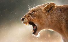 険しい顔で吠えるメスライオン