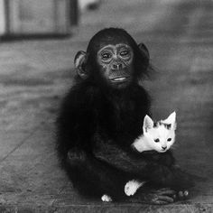 "life: ""Baby chimpanzee holding a kitten at Dr. Albert Schweitzer's hospital in West Africa, (W. Eugene Smith—The LIFE Picture Collection/Getty Images) "" Tina Modotti, Walker Evans, Gordon Parks, Galerie Creation, Eugene Smith, Albert Schweitzer, Magnum, Chimpanzee, Orangutans"