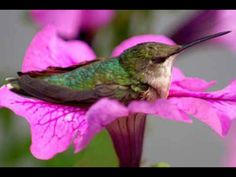 Hummingbird on a petunia - This looks just like the hummingbird I rescued last summer with a broken wing.  I put her in a cage with a hummingbird feeder and she would climb onto my finger and I would kiss her little tiny head.  After about 3 weeks, her wing healed and was able to be released in time to fly south for the winter with her hummingbird friends.