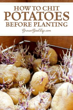 How to Chit Potatoes: Chitting simply means encouraging the seed potatoes to sprout before planting. Visit to see how to chit potatoes to give them a head start.