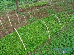 Pflanzen der Kaffeebohne (5 – 6 Monate) auf der Kaffeeplantage Sinouk Coffee Resort in Pakxong