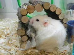 I am a beautiful, social young hamster. I can be a little shy in noisy environments, so I would appreciate a quiet home with lots of toys and attention!    Come visit me at Pet Valu King & Dufferin!