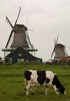 Cows and wind-mills, at Zaanse Schans, Amsterdam, Holland Holland Netherlands, Netherlands Windmills, Amsterdam Netherlands, Le Moulin, Delft, Belle Photo, London England, Farm Animals, Lighthouse