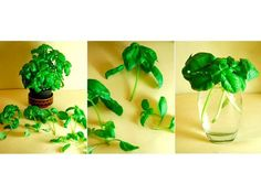 Plantar albahaca en casa: Put clippings from basil with 3 to stems in a glass of water and place it in direct sunlight. When the roots are about 2 inches long,. Growing Veggies, Growing Herbs, Organic Gardening, Gardening Tips, Urban Gardening, Kitchen Gardening, Indoor Gardening, Regrow Vegetables, Planting Vegetables