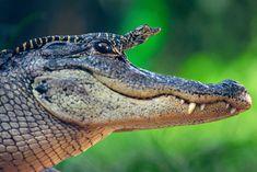 Al sicuro sulla testa di mamma: l'alligatore prende il sole