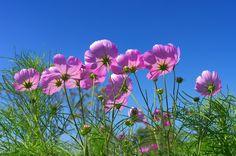 Beautiful pink cosmos flower