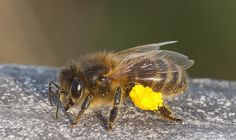 Honey bee carrying pollen