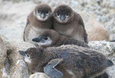 african-penguin-chicks