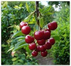 Правильно осуществляйте подкормку вишни - Садоводка