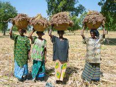 Una foto de Mali: Mujeres transportando mijo.