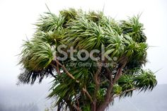 Windblown Cabbage Tree, New Zealand Royalty Free Stock Photo Four Seasons, New Zealand, Cabbage, Royalty Free Stock Photos, Weather, Image, Seasons Of The Year, Cabbages, Weather Crafts
