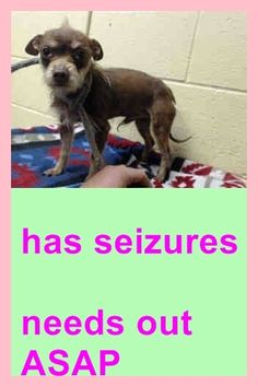 SAFE --- LITTLE IVAN IS HAVING SEIZURES! NOT A LOT BUT ENOUGH! The vet believes it may be due to hypothyroidism.   A4793558 My name is Ivan and I'm an approx. 2 year old male terrier. + neutered. I have been at the Downey Animal Care Center since January 21, 2015. You can visit me at my temporary home at D722.  https://www.facebook.com/photo.php?fbid=807407192672948&set=pb.100002110236304.-2207520000.1422968839.&type=3&theater
