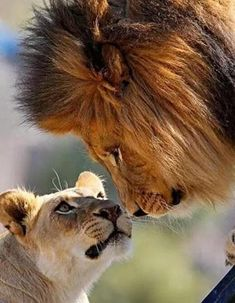 Affection - Crowdfunding - Ideas of Crowdfunding - Affection Big Cats, Cats And Kittens, Cute Cats, Animals And Pets, Baby Animals, Cute Animals, Beautiful Cats, Animals Beautiful, Beautiful Life