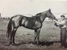 412 Корсет 305 ( Кодекс – Кассета),зол. рыж, 1954 г. 158-180-19,5; выиграл призы: РСФСР, Закрытия, рекорд 7000м – 8 мин. 25,5
