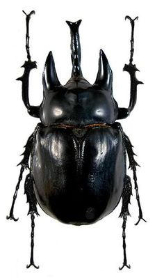 Megasoma acteon: I'm Batman! Rhino Beetle, Beetle Insect, Insect Art, Reptiles, Mammals, Cool Bugs, Moth Caterpillar, Beautiful Bugs, Bugs And Insects