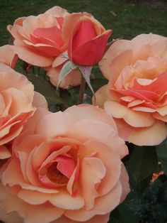 Peach and coral roses.  Lovely hint of deeper color.