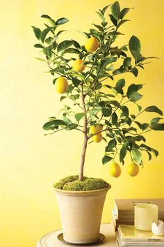 kathy kuo home indoor dwarf lemon tree  Dwarf citrus tress are the new fiddle leaf fig