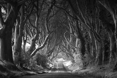 The Dark Hedges in Ireland  black and white photography