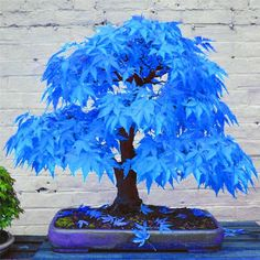 Description: Add a unique touch to your space with this Mystic Blue Maple #bonsai Tree. This beautiful planter gives off a zen and energizing aura, sprucing up