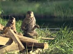 Woodchuck Geico Commercial - YouTube Funny Commercials, Funny Ads, Funny Animal Memes, Funny Animals, Hilarious, Tv Ads, Belly Laughs, Four Legged, I Laughed