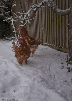 Rescued ex batts  enjoying their first taste of snow. From the Fresh Start for Hens site.