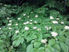 Alternate Leafed Dogwood......also known as Pagoda Dogwood.  Small tree to 20ft...soft fuzzy flower clusters with lots of berry sets in the summer/fall...very popular native plant for birds and insects