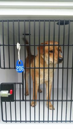 04/12/17-**SEE VIDEO!!** HOUSTON - EXTREMELY URGENT -This DOG - ID#A481276 I am a male, brown Labrador Retriever. I am about 1 year and 8 months old. I have been at the shelter since Apr 12, 2017. Harris County Public Health and Environmental Services https://www.facebook.com/harriscountyanimalsheltervolunteers/videos/489402521183993/