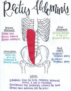 Rectus Abdominis Human Body Anatomy, Human Anatomy And Physiology, Muscle Anatomy, Gross Anatomy, Psoas Iliaque, Muscular System Anatomy, Examen Clinique, Physical Therapy School, Medicine Student