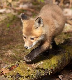 Fox kit on a log by Steve Dunsford on 500px