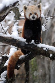Red panda....looks more like a red raccoon..