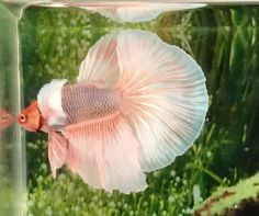 This beautiful betta has show quality color and form, because it was bred by one of the most experienced and reputable betta breeders in Thailand. Breeding Betta Fish, Halfmoon Betta, Live Fish, Ears, Pastel, Fancy, Big, Animals, Beautiful
