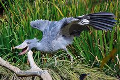 The Shoebill, a large stork-like bird, derives its name from its massive shoe-shaped bill. They feed on fish, frogs, reptiles, and small mammals.