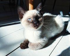 The cutest cat in the world :) Vores sødeste siameser & british shorthair blanding. Et helt perfekt match til en børnefamilie :)