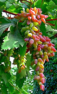 **Uvas, grapes