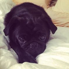 Chompy, my little rescue pug!