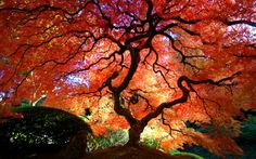 Clear Picture Japanese Nature | Japanese Maple, autumn, japanese maple tree, vibrant colours