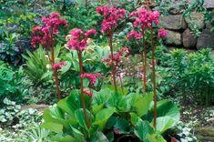 Image result for bergenia bressingham ruby