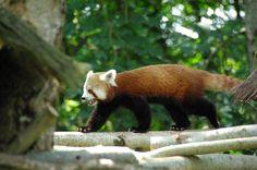 Le panda roux au Parc Zoo du Reynou